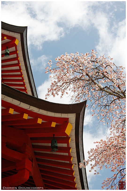 Pagoda and cherry blossoms (Koyasan 高野山)
