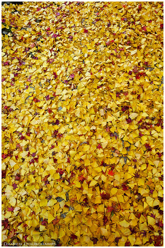Carpet of fallen ginkgo leaves (Renge-ji 蓮華寺)