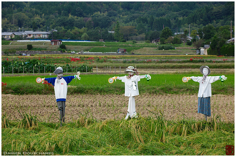 Scarecrows on rice fields, Kyoto countryside