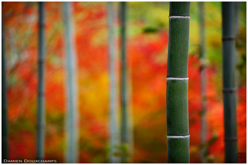 Bamboo forest and autumn colours, Kyoto, Japan