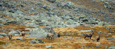 Small herd of Ibex