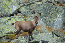 Ibex among rocks