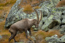 Alpha male ibex with malformed hoof