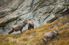 Fighting ibex