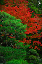 Green pine and red maple tree