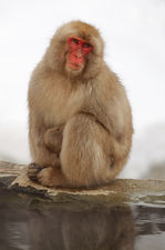 Snow monkey near fuming hot spring (Jigokudani monkey park 地獄谷野猿公苑)