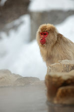 Snow monkey and fuming hot spring bath (Jigokudani monkey park 地獄谷野猿公苑)