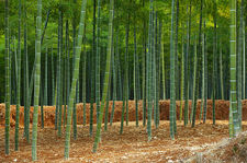 Exploited bamboo forest