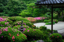 Rhododendrons in bloom in Shisen-do temple gardens