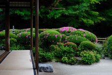 Blooming rhododendrons in Shisen-do temple gardens