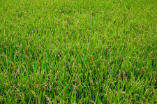 Rice field before harvest