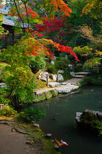 Pond with koi carps in autumn, Tenju-an temple
