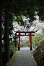 Torii gate during cherry blossom season, Hakuryu-en garden, Kyoto, Japan